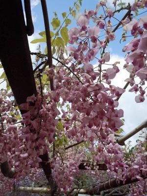 03 和気町 藤公園 ピンク花.JPG