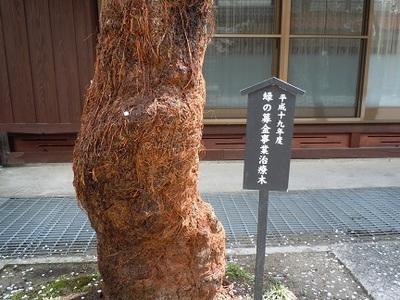 05 がいせん桜 治療木1.JPG