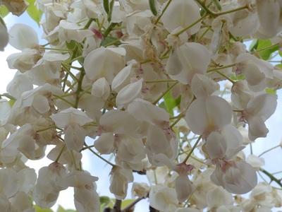 05 和気町 藤公園 白花.JPG