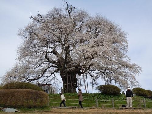 05 醍醐桜.jpg
