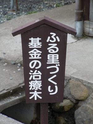 06 がいせん桜 治療木2.JPG