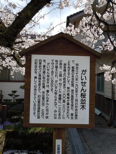 06 がいせん桜 詳細.JPG