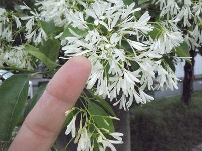 なんじゃもんじゃの木 花の大きさ.JPG